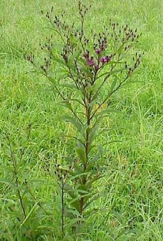 New York Ironweed