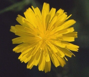 Mouseear Hawkweed