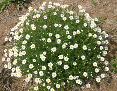 Mayweed Chamomile