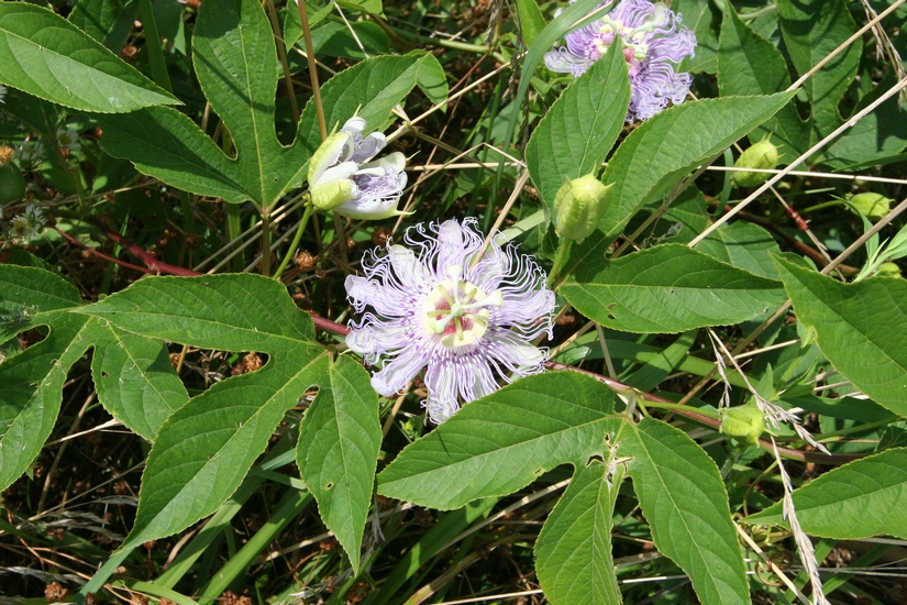 Maypop Passionflower